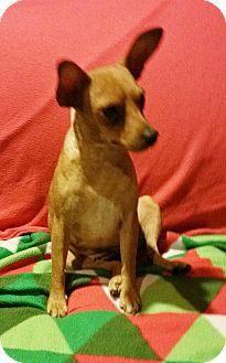 Miniature Pinscher Dog for adoption in Sacramento, California - Mona