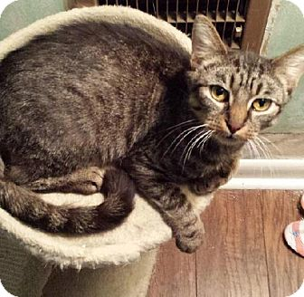 Domestic Shorthair Cat for adoption in Baltimore, Maryland - Tutti - Pending Medical