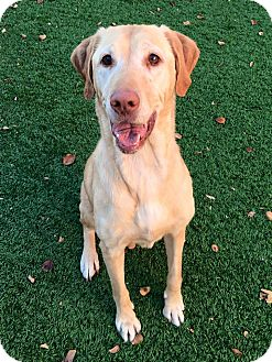 Labrador Retriever Mix Dog for adoption in Litchfield Park, Arizona - Savanna