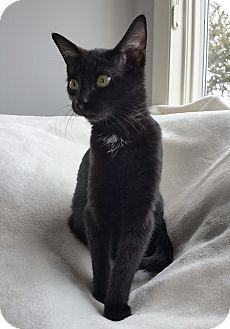 Domestic Shorthair Kitten for adoption in Wayne, New Jersey - Rhapsody