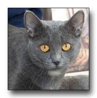 Domestic Shorthair Cat for adoption in Howell, Michigan - Tawny