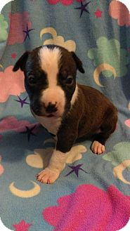 American Pit Bull Terrier Puppy for adoption in Sacramento, California - Iris (goddess of rainbows)