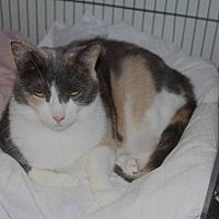 Domestic Mediumhair Cat for adoption in New Bern, North Carolina - Silver