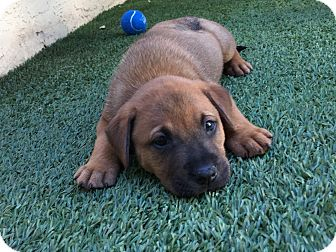 Labrador Retriever Mix Puppy for adoption in Ft. Lauderdale, Florida - Reno