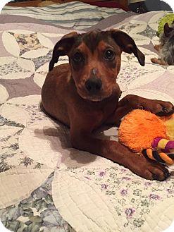 Labrador Retriever/Australian Shepherd Mix Puppy for adoption in New Oxford, Pennsylvania - Ivy Baby