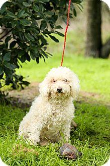 Cockapoo Mix Dog for adoption in Auburn, California - Poppy