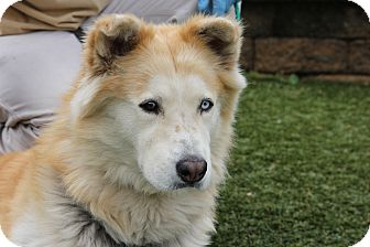 Alaskan Malamute Mix Dog for adoption in Greensboro, North Carolina - Maverick
