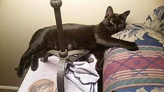 Domestic Shorthair Cat for adoption in Fort Pierce, Florida - Moet
