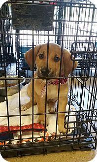 Golden Retriever Mix Puppy for adoption in Patterson, New York - Sadie