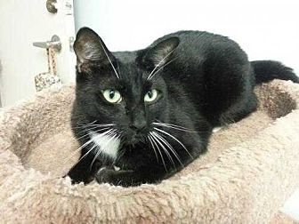 Domestic Shorthair Cat for adoption in Margate, Florida - Donald