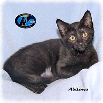 Domestic Shorthair Kitten for adoption in Howell, Michigan - Abilene