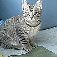 Adopt A Pet :: Kitten 1 - Brainardsville, NY