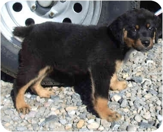 Rottweiler Mix Puppy for adoption in Provo, Utah - PUNKY