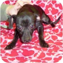 Terrier (Unknown Type, Small)/Dachshund Mix Dog for adoption in Murphysboro, Illinois - Bosley