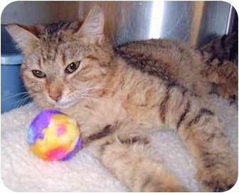 Domestic Mediumhair Cat for adoption in Grass Valley, California - Summer