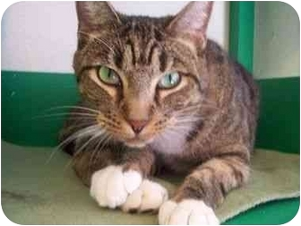 Domestic Shorthair Cat for adoption in El Cajon, California - Outlaw