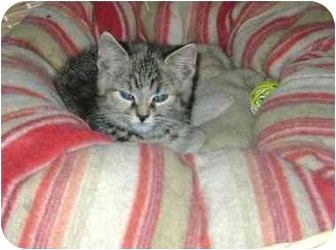 Domestic Shorthair Kitten for adoption in Etobicoke, Ontario - tabby girl