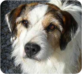 Fox Terrier (Wirehaired) Mix Dog for adoption in Cincinnati, Ohio - Tramp: in Clifton (Good Dog!)