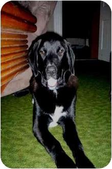 Labrador Retriever Mix Dog for adoption in Morden, Manitoba - Chester