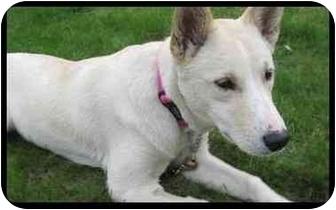 Husky/Labrador Retriever Mix Puppy for adoption in Montreal, Quebec - Brittany