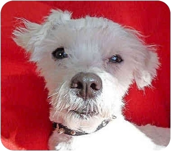 Maltese/Poodle (Miniature) Mix Dog for adoption in Melbourne, Florida - TOP DOG