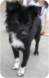 Border Collie Mix Dog for adoption in Humble, Texas - Wolfie