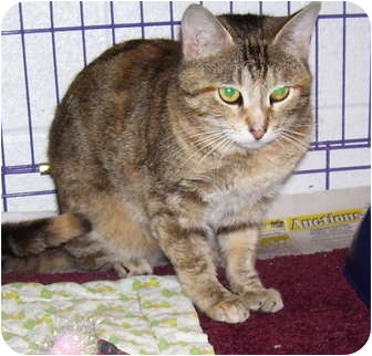 Domestic Shorthair Cat for adoption in Somerset, Pennsylvania - Tiny