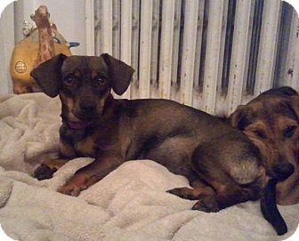 Dachshund/Chihuahua Mix Dog for adoption in Bardonia, New York - Robin