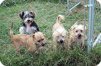 Cairn Terrier/Schnauzer (Miniature) Mix Dog for adoption in Waller, Texas - Clyde