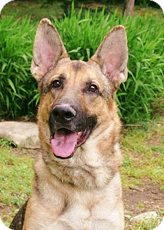 German Shepherd Dog Dog for adoption in Nashville, Tennessee - Calvin