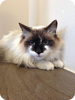 Birman Cat for adoption in Lake Worth, Texas - Kona