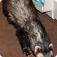Adopt A Pet :: Aspen - Indianapolis, IN