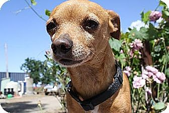 Chihuahua Mix Dog for adoption in Elk Grove, California - TRAPPER