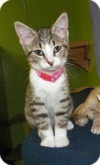 Domestic Shorthair Kitten for adoption in Dover, Ohio - Wendy