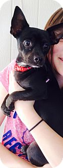 Chihuahua Mix Puppy for adoption in Gilbert, Arizona - Iggy