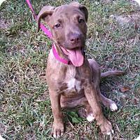 Adopt A Pet :: Basha - Marshfield, MA