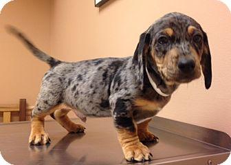 Dachshund Mix Puppy for adoption in Skippack, Pennsylvania - Darwin