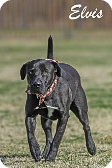 Labrador Retriever Mix Dog for adoption in Lancaster, Texas - Elvis