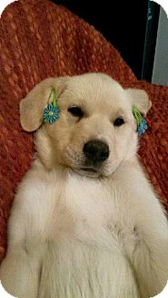 Labrador Retriever/Great Pyrenees Mix Puppy for adoption in Miami, Oklahoma - J/ Sunflower