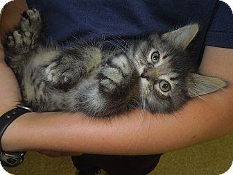 Domestic Mediumhair Kitten for adoption in Medina, Ohio - Spencer
