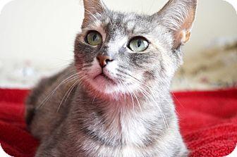Domestic Shorthair Cat for adoption in Xenia, Ohio - Kimba