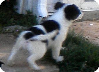 American Eskimo Dog/Border Collie Mix Puppy for adoption in Downey, California - Elsie's Puppy 6 - White with Black Spots