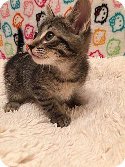 Domestic Shorthair Kitten for adoption in Fountain Hills, Arizona - XOE