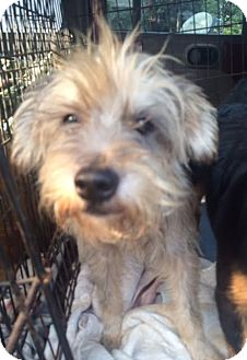 Terrier (Unknown Type, Small)/Schnauzer (Miniature) Mix Dog for adoption in East Hartford, Connecticut - Friskies Adoption pending