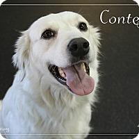 Adopt A Pet :: Contessa - Rockwall, TX