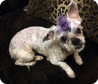 Maltese/Poodle (Toy or Tea Cup) Mix Dog for adoption in Los Angeles, California - ASIA