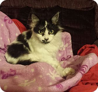 Domestic Longhair Kitten for adoption in Monrovia, California - Angel