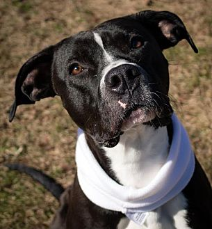Great Dane/Labrador Retriever Mix Dog for adoption in Baden, Pennsylvania - Caldwell