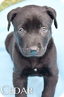 Labrador Retriever Mix Puppy for adoption in DFW, Texas - Cedar