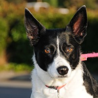 Adopt A Pet :: HANNAH (Courtesy List) - San Pedro, CA